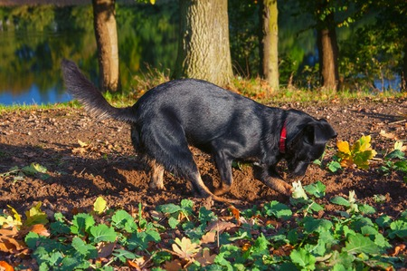 Small black dog digging a hole