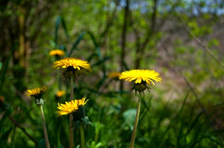 sow: Sow-thistles on meadow