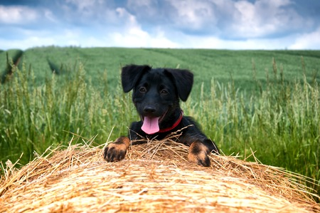 Black puppy on bale