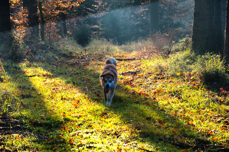 Dog on walk in forest Stock Photo