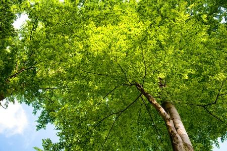 below: Tree tops seen from below