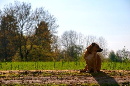 Little red dog on walk