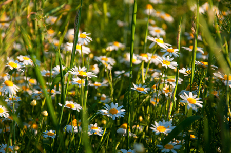 cropcircle: Field of camomile in spring