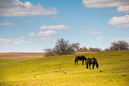 Two horses grazing on meadow