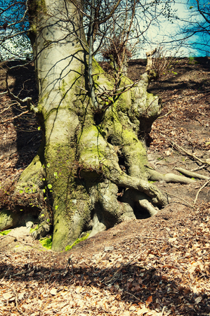 Roots of trees on the hill in early autumn Standard-Bild