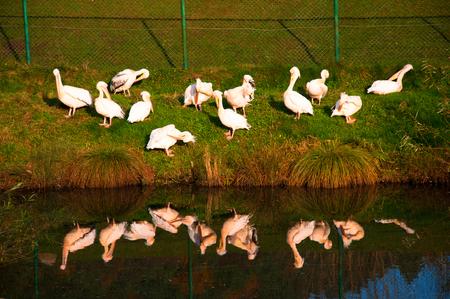 Pelicans in the zoo Standard-Bild