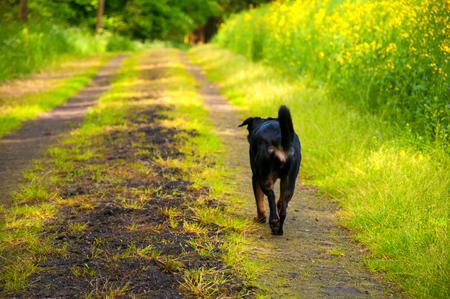 Black dog on walk Standard-Bild