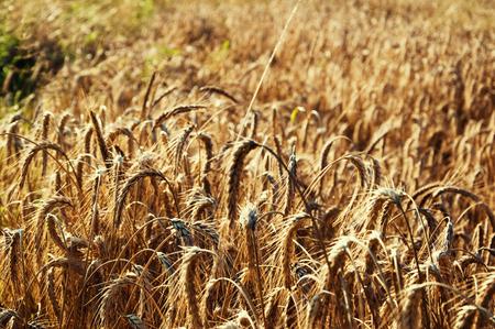 Golden wheat field background Standard-Bild