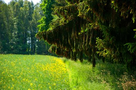 Rape field near forest Standard-Bild