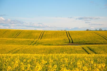 Rape field in summertime