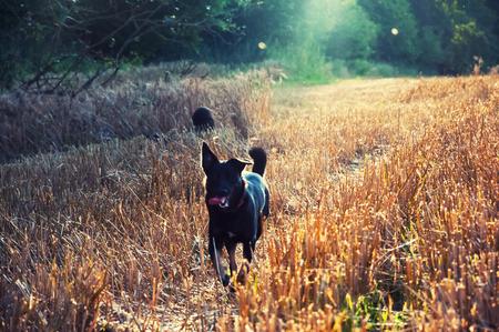 Black dog playing in wheat field Standard-Bild