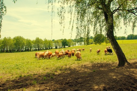 Brown cows and calves grazing on meadow