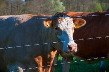 Brown cows behind fence Standard-Bild