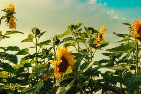 Many sunflowers on sunny day