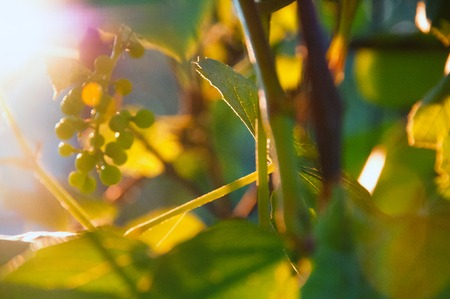 Sunlight through vines leaves