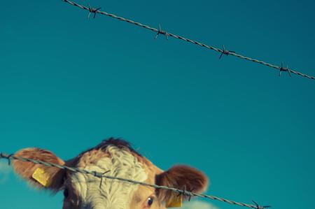 Brown cow behind fence
