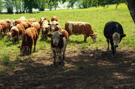Cows and calves grazing on meadow Standard-Bild