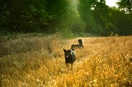 Black dogs playing in wheat field