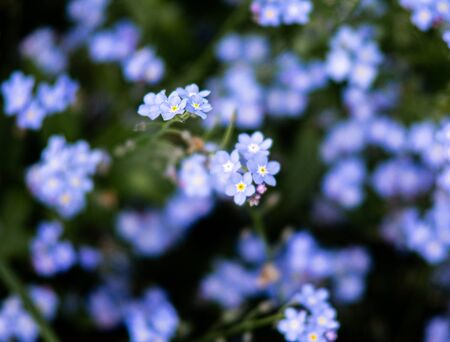 Wonderful blossoms from a forget-me-not in a lovely closeup. Standard-Bild