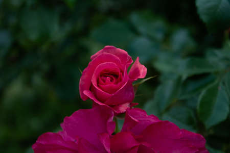 Beautiful red rose bloom of a bush rose in the foreground. To pluck now up and give it to your loved one.