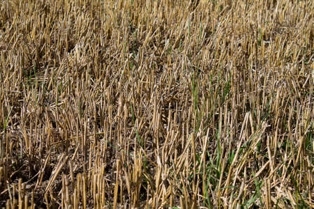 Texture of a parched wheat field. Only part of the spars are left. 免版税图像