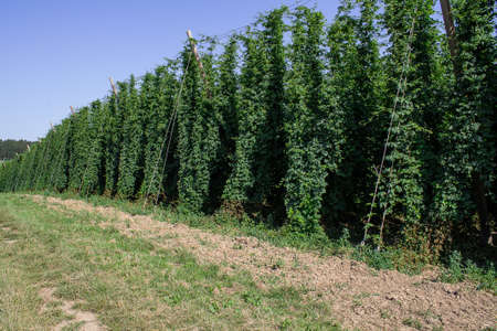Hop garden landscape. The hop perennials have already grown up. The hop cones are not yet mature. 写真素材