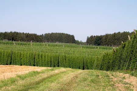 Hop garden landscape. The hop perennials have already grown up. The hop cones are not yet mature. You can see many varieties of hops here.