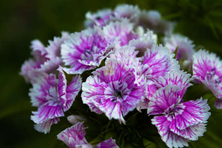 The bloom of a beautiful pink Sweet William with many flowers.