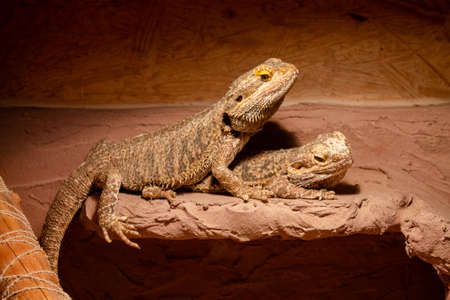 Two bearded dragons sitting in their terrarium. They watch the photographer.
