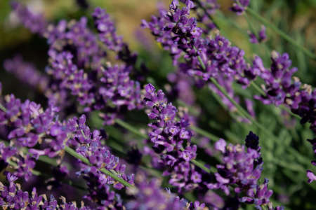 Lavender embellishes every garden and balcony with an intense fragrance and bright flowers. Stok Fotoğraf