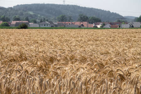 In the foreground a field of rye. In the background a small town and a hill.