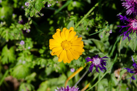 Very beautiful yellow garden marigold edged in purple cornflowers. Banco de Imagens