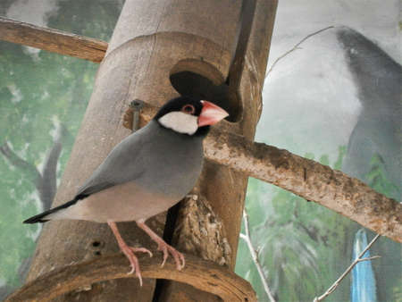 Java Finch - Lonchura oryzivora a beautiful bird with a red beak perched on a branch. Stok Fotoğraf
