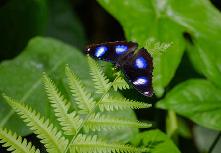 On a fern leaf you can see a butterfly with the name - common eggfly - Hypolimnas bolina. It has a nice blue color. Stok Fotoğraf