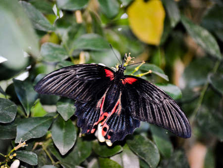 Scarlet Mormon - Papilio rumanzovia a black butterfly sitting on a flower.