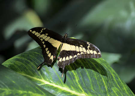 King Swallowtail - Papilio thoas a black butterfly with a beige drawing