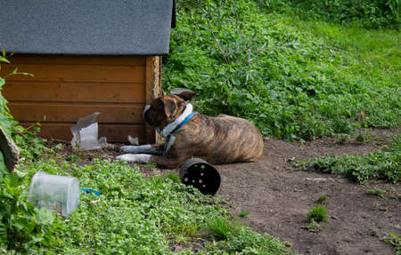 Dog in front of dog house. He is facing away from the photographer in front of his hut. Banco de Imagens