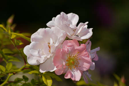 This pink climbing rose with very open flowers is called Open Arms.