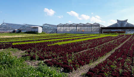 In the foreground lettuce fields with two types of salad. There are several greenhouses in the back. Banco de Imagens