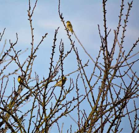 Three Siskins sitting in a bush in spring.