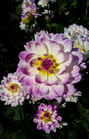 The Sandia Melody water lily dahlia has large, white purple flowers.
