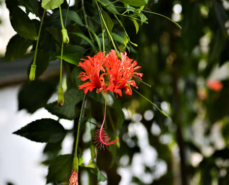 The flower of the Hibiscus schizopetalus resembles a coral, both in color and in shape.