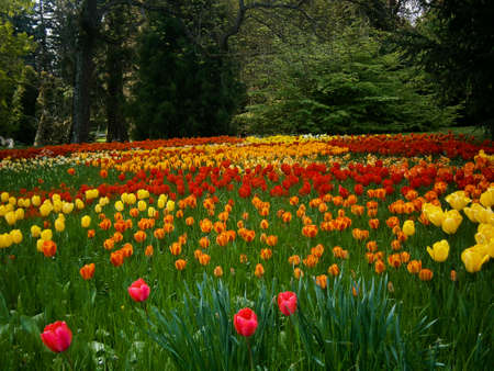 Tulip meadow with a huge variety of different types of tulips.