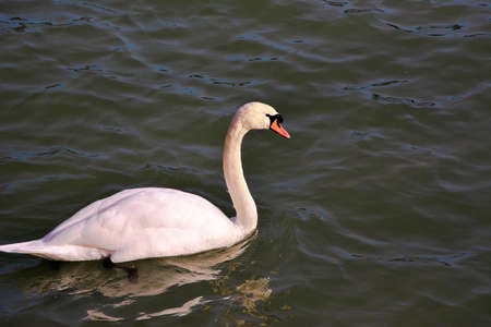 Mute swan - Cygnus olor is quietly circling on Lake Constance. Banco de Imagens