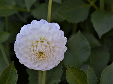 The flowers of the white pompom dahlias and the ball dahlias are spherical and compact. The petals form a tube because they are rolled up along the longitudinal axis. Ryecroft Jan
