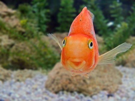 gold fish smile close-up humor on a face tropical underwater photo