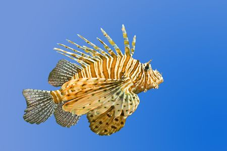 lionfish on blue background photo