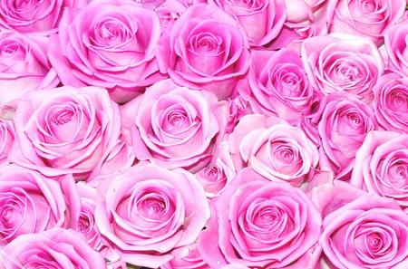 Pink and tender roses