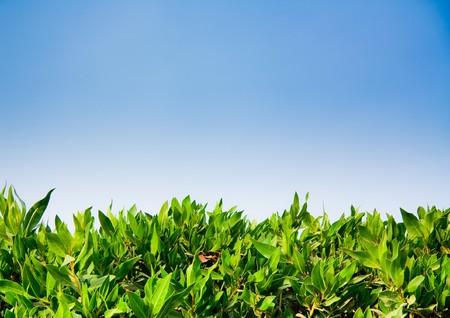 Green hedge photo