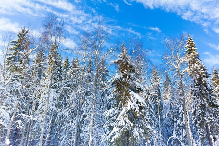 View of Christmas Trees  Stock Photo - 10656532